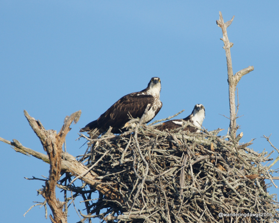 Pair of Ospreys on the nature trail