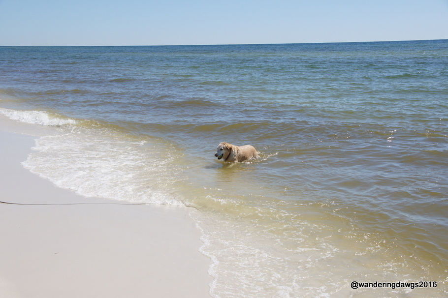 Blondie went for a swim at the Pensacola Beach Dog Beach