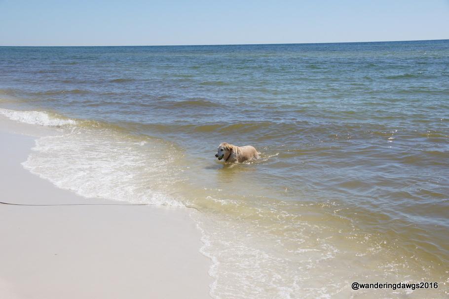 Blondie went for a swim at the Pensacola Beach Dog Beach