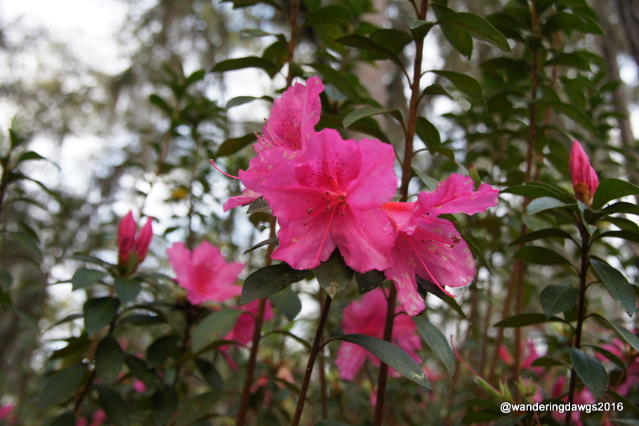 Azaleas blooming in White Springs, Florida