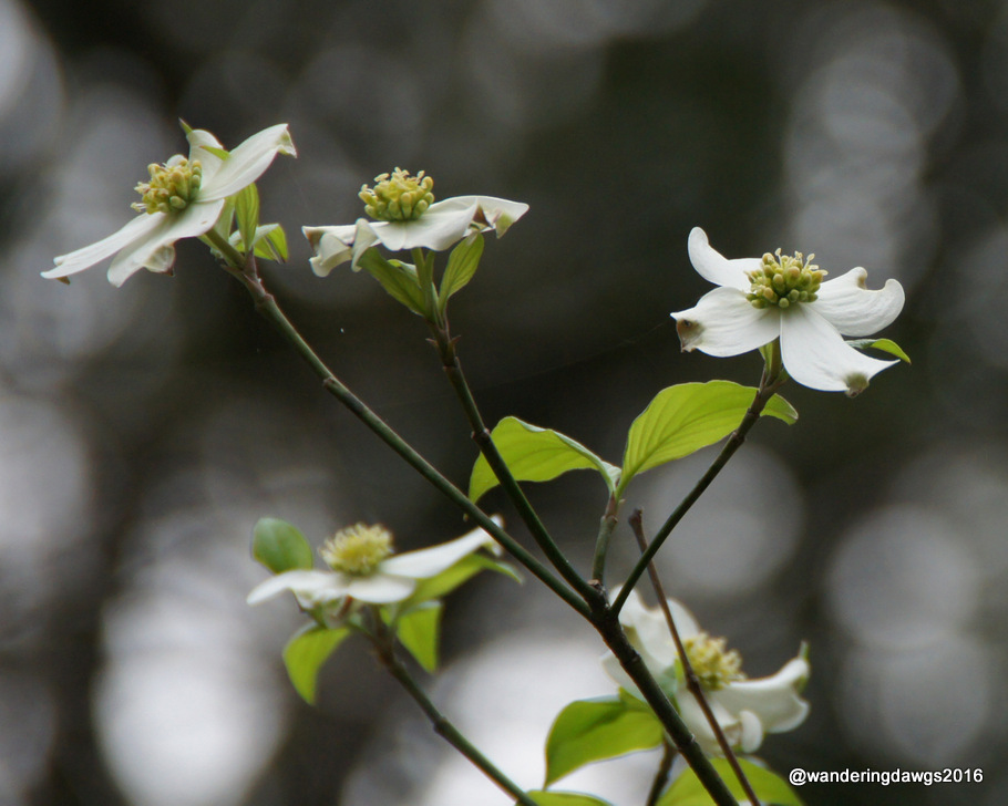 Flowering Dogwood in White Springs, Florida