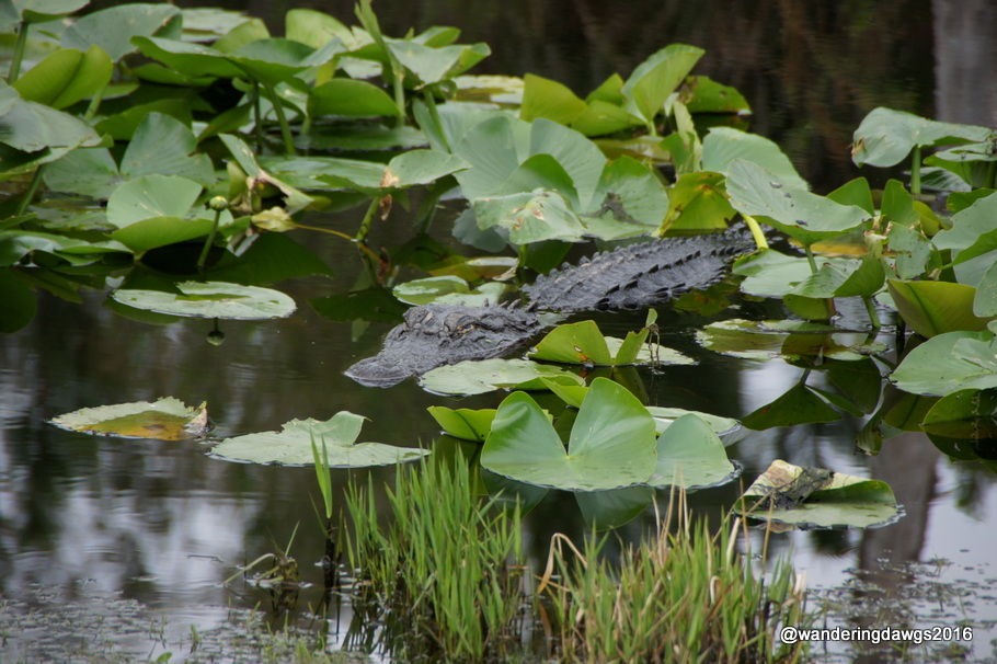 Alligator among the lily pads