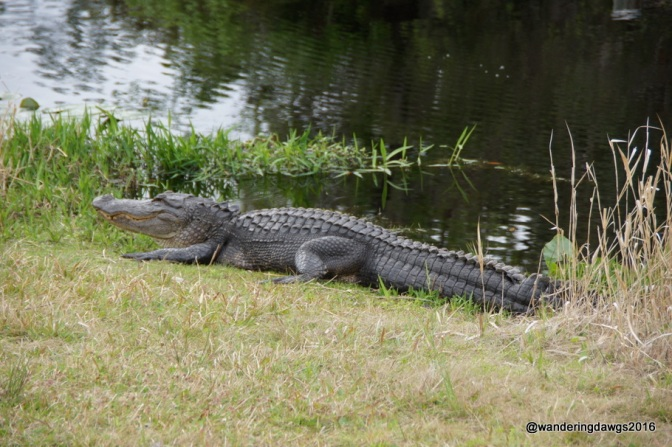 Big gator beside the canal next to the road
