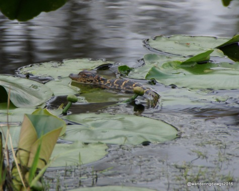 Baby Gator on Lilly Pad