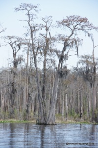 Cypress trees in the Okefenokee