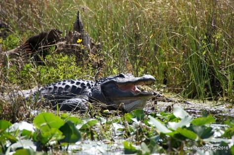 Huge alligator showing us his teeth