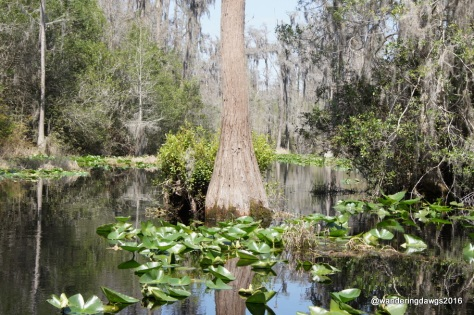 Boats had to navigate around this cypress tree