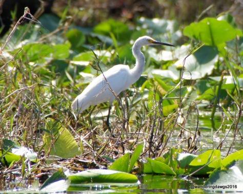 Egret in the Okefenokee