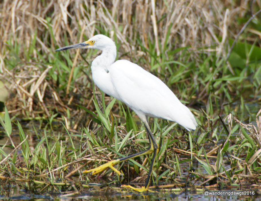 Snowy Egret in the Okefenokee