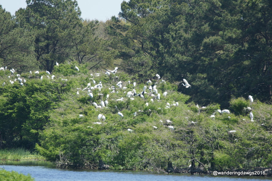 Nesting Wood Storks and Great Egrets at Woody Pond