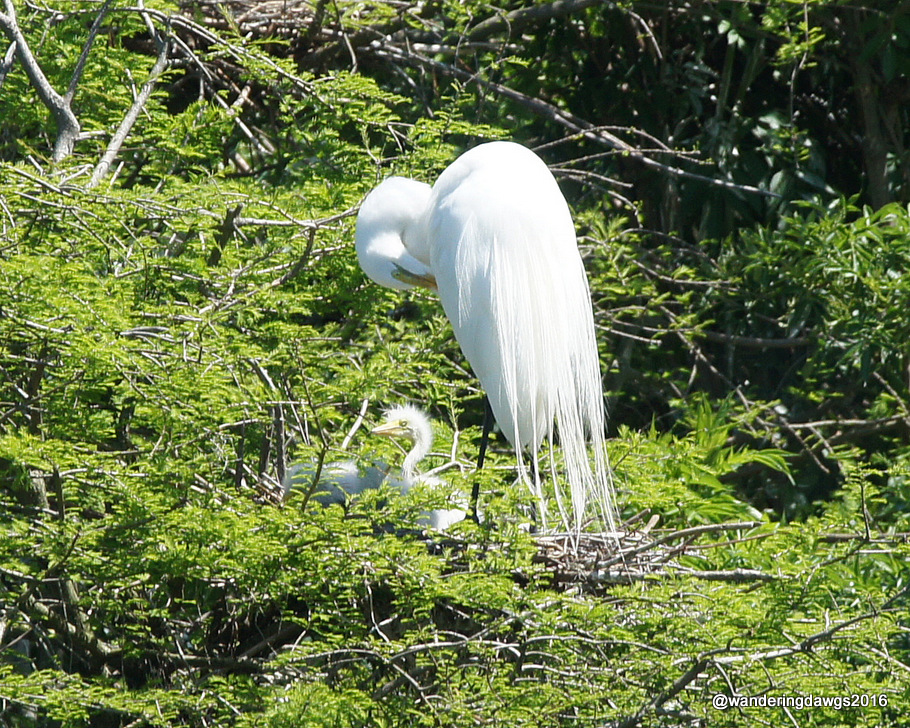 Great Egret with chicks