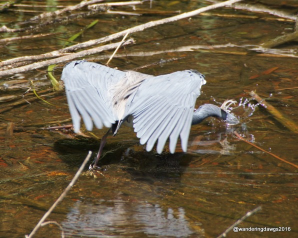 Tri Colored Heron gets his catch