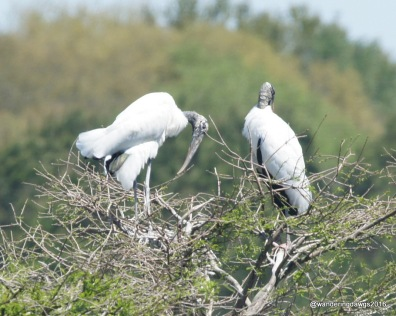 Wood Storks building a nest