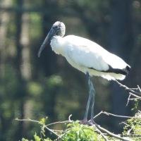 Nesting Birds at Harris Neck National Wildlife Refuge