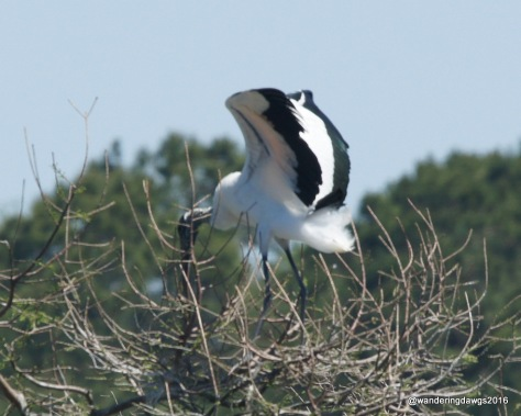 Wood Stork on nest