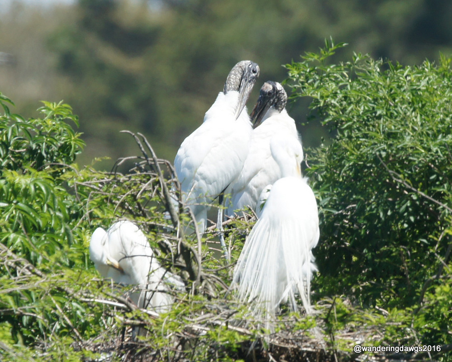 Wood Storks and Great Egrets