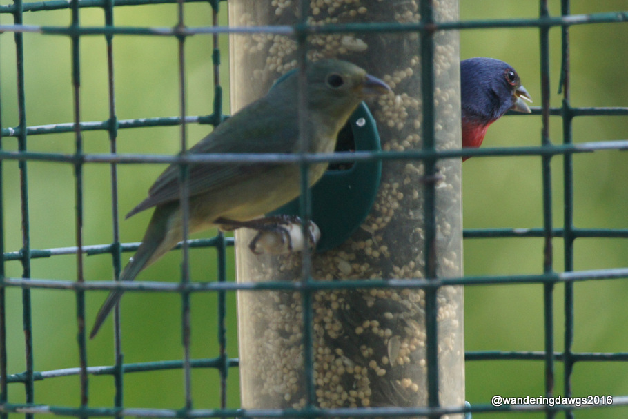 Pair of Painted Buntings