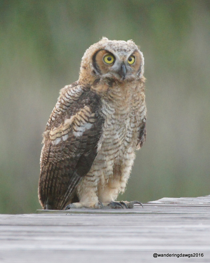 Juvenile Horned Owl