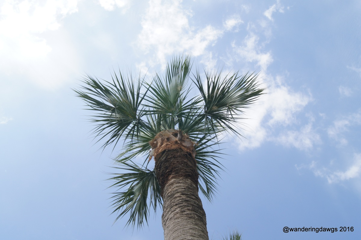 Looking up at one of my favorite palm trees