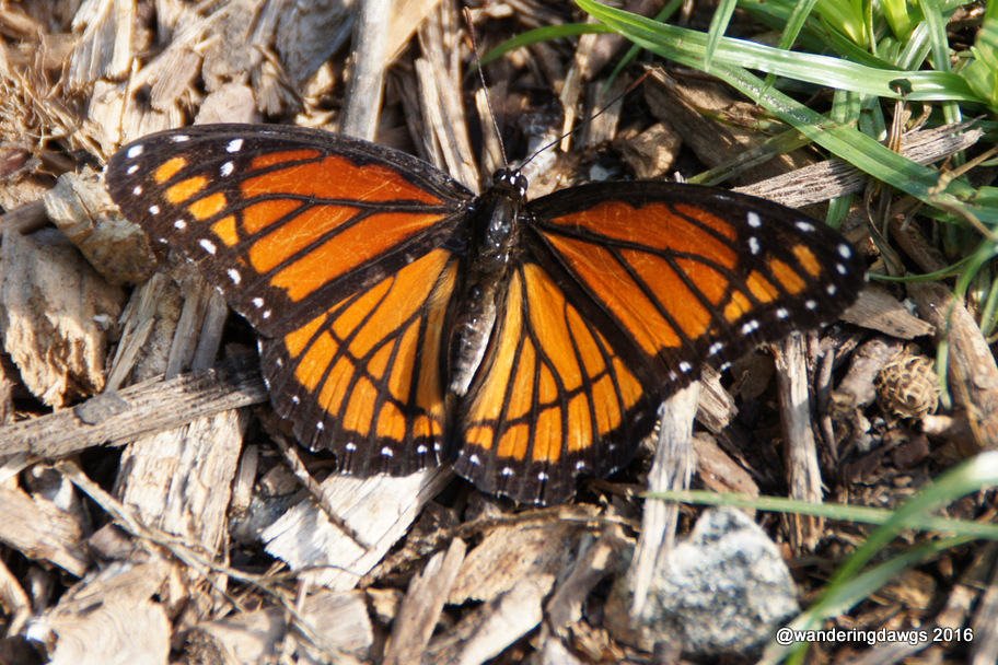Viceroy in the Briar Patch