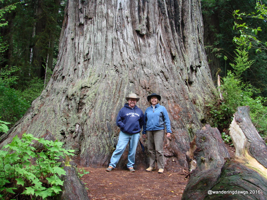 The Big Tree, Redwoods National Park, California