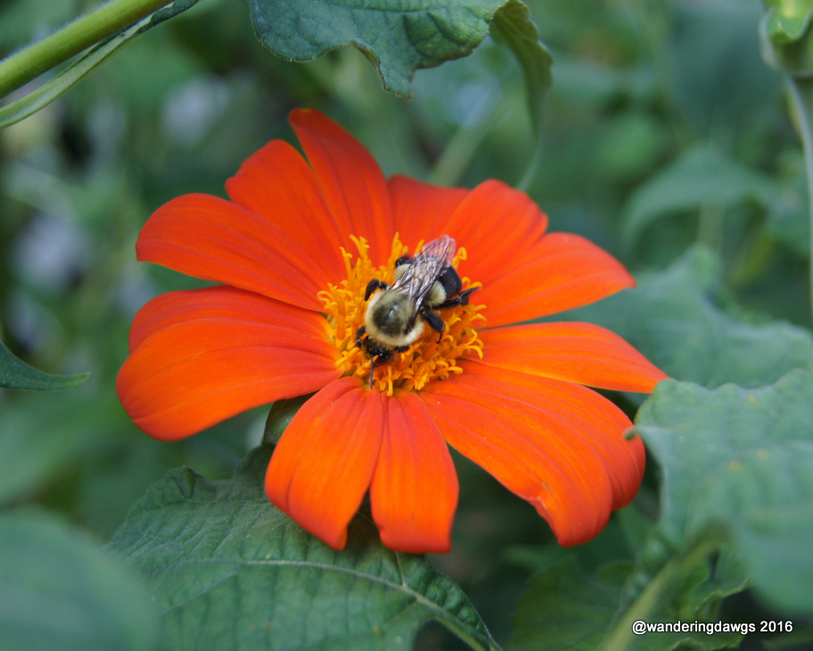 Bee on Mexican Sunflower