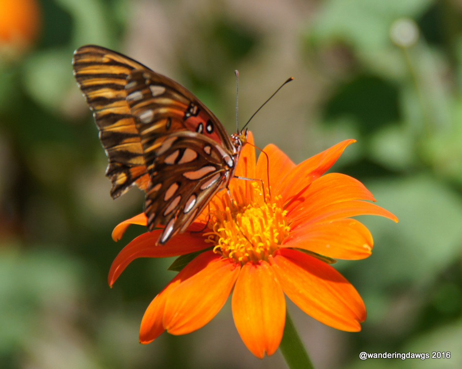 Gulf Fritillary on Mexican Sunflower