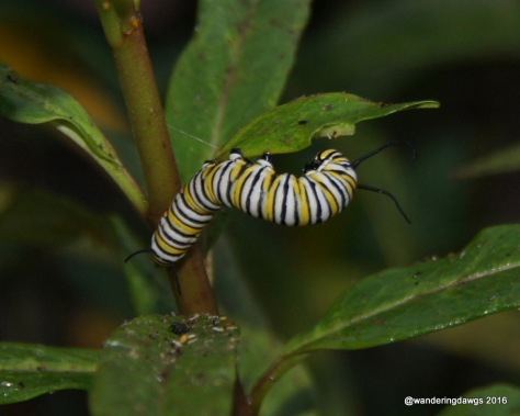 Monarch Caterpillar August 2016