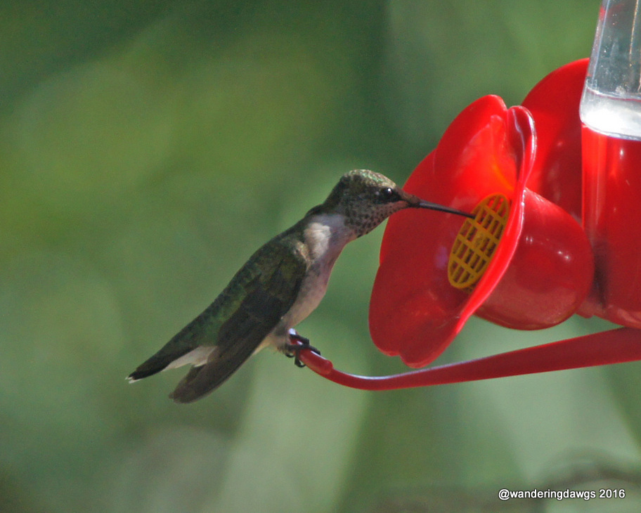 Hummingbird on feeder