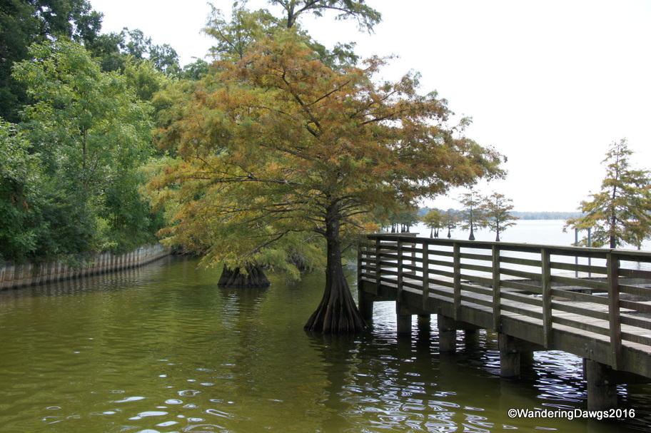 Cypress trees at Lake Chico