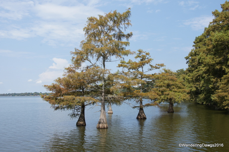 Cypress trees at Lake Chicot