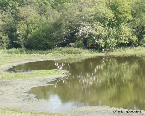 Egrets flocked to the trees beside the borrow pits