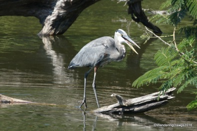 Great Blue Heron at Bear Creek Lake