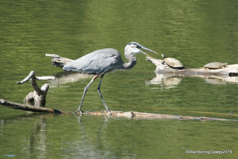 Great Blue Heron with two turtles