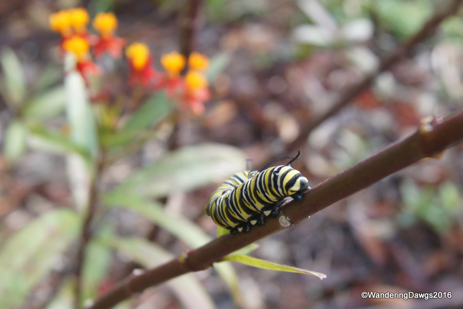 Monarch Caterpillar on Milkweed - December 15, 2016