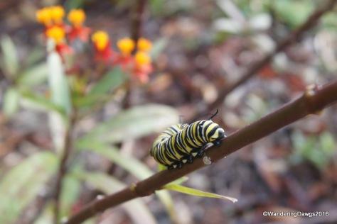 Monarch Caterpillar on Milkweed - December 15, 2016