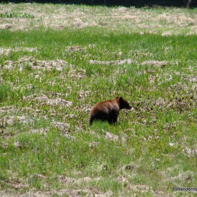 Bear in Sequoia National Park