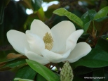 The magnolias were blooming in Hot Springs