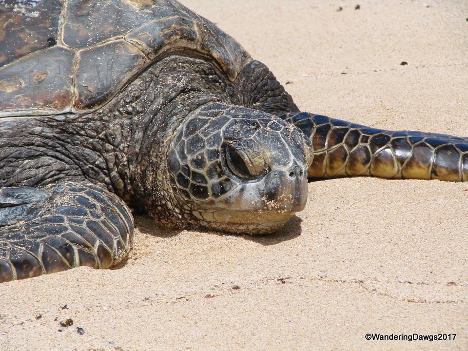 Green sea turtle on the beach at Turtle Cove, Oahu