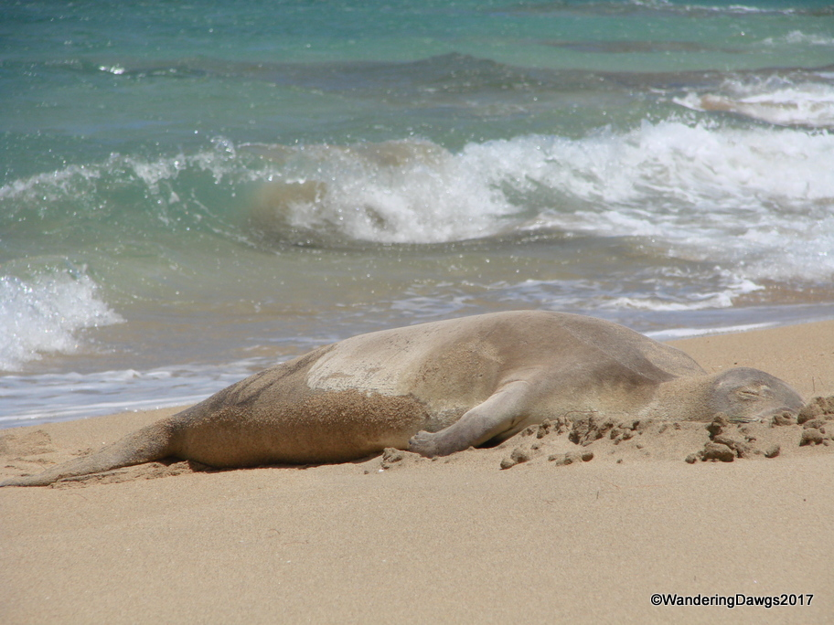 Hawaiian Monk Seal on the north shore of Kauai