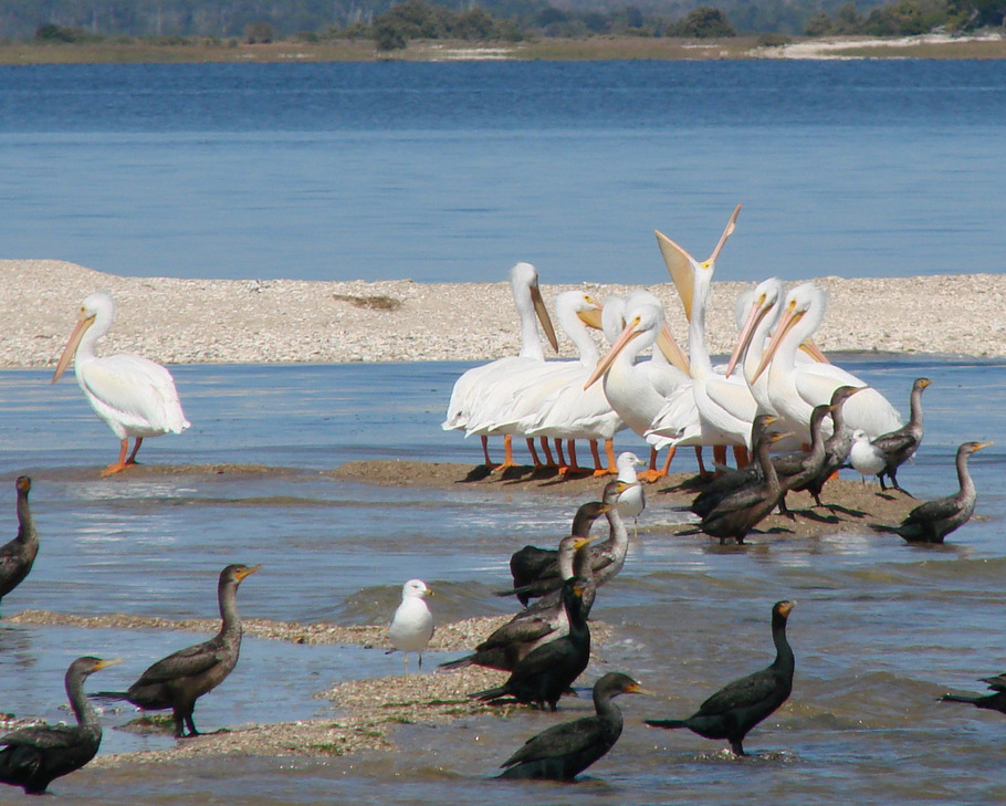 White Pelicans and Cormorants around Cedar Key
