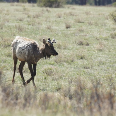 Young Elk in Rocky Mountain National Park