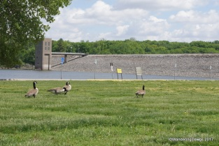 Canada Geese at the Coralville Dam