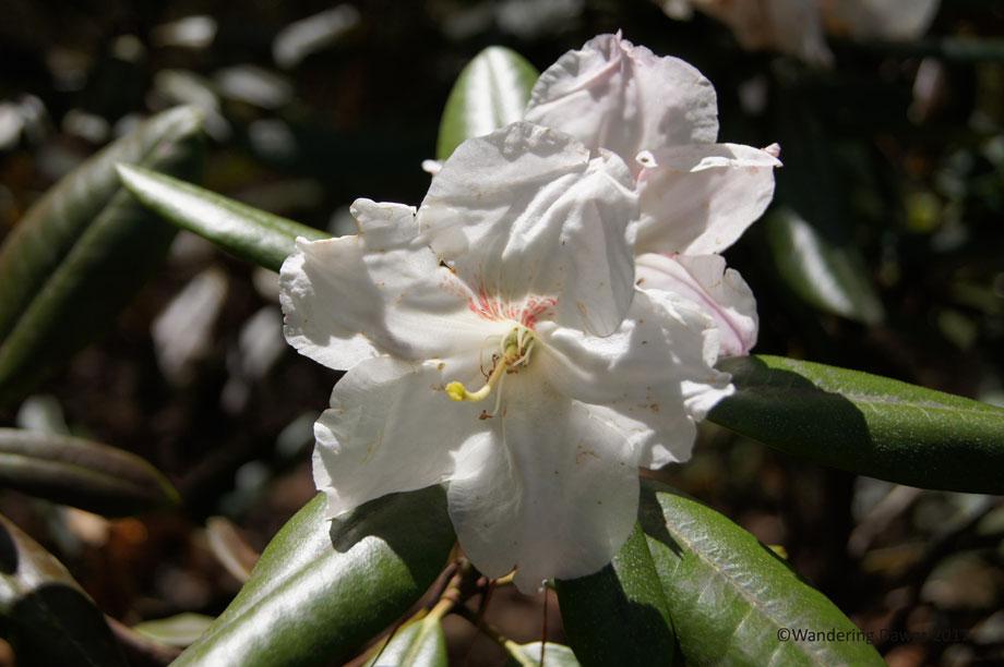 Callaway Gardens Overlook Azalea Trail