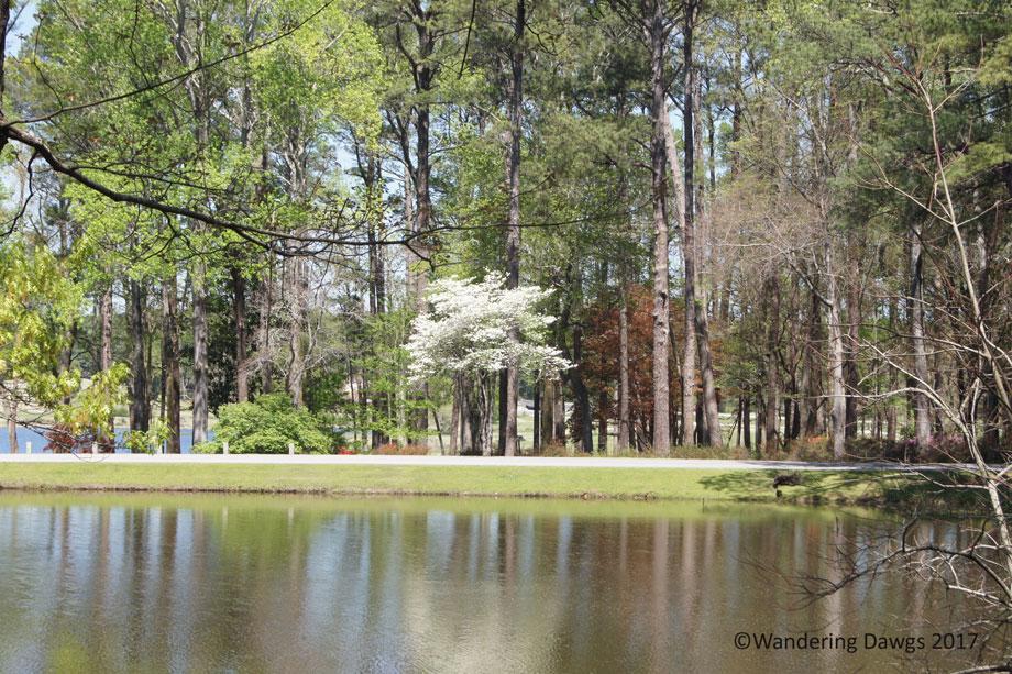 20170404Callaway-Gardens-Flowering-Dogwood