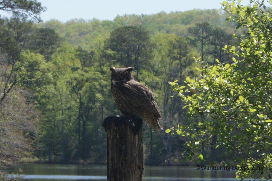 Juniper the Great Horned Owl at Birds of Prey program