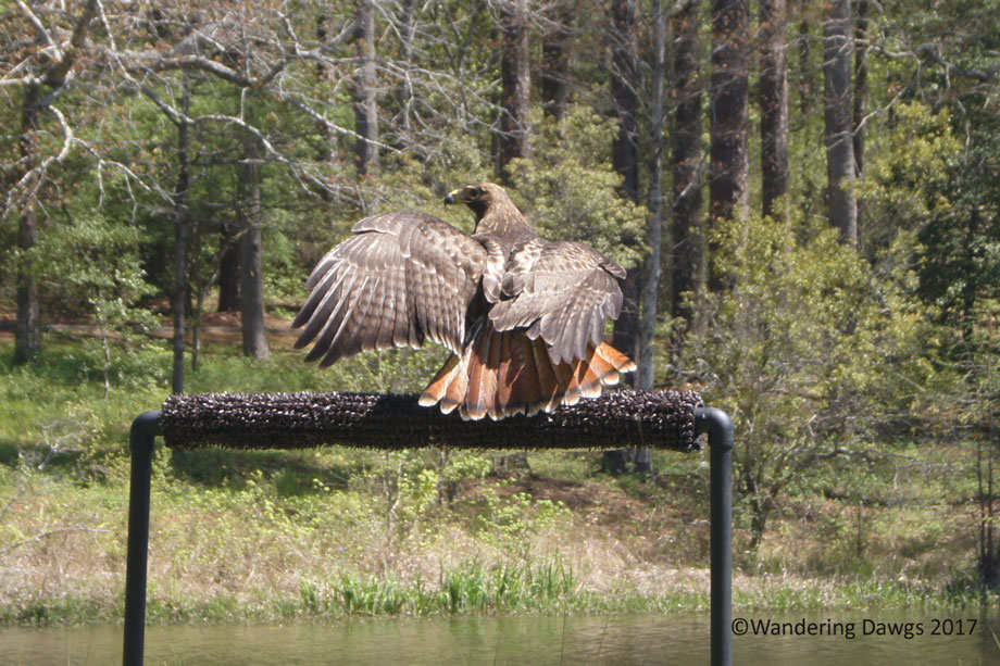 Red Tailed Hawk Callaway Gardens Birds of Prey Show