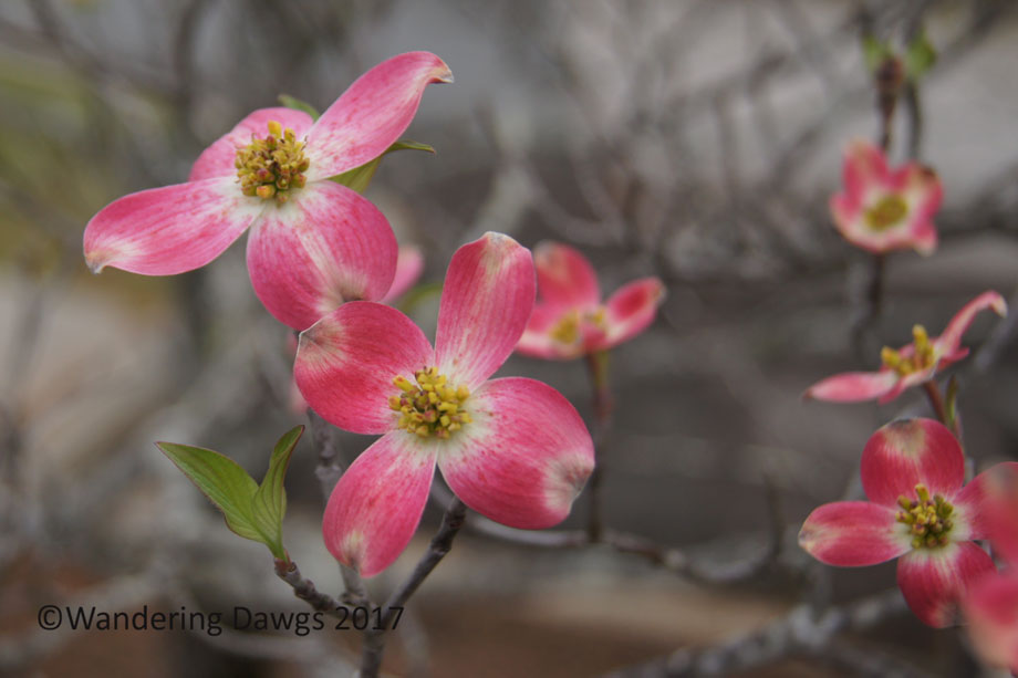 Pink Dogwood blossoms on the grounds of the Little White House