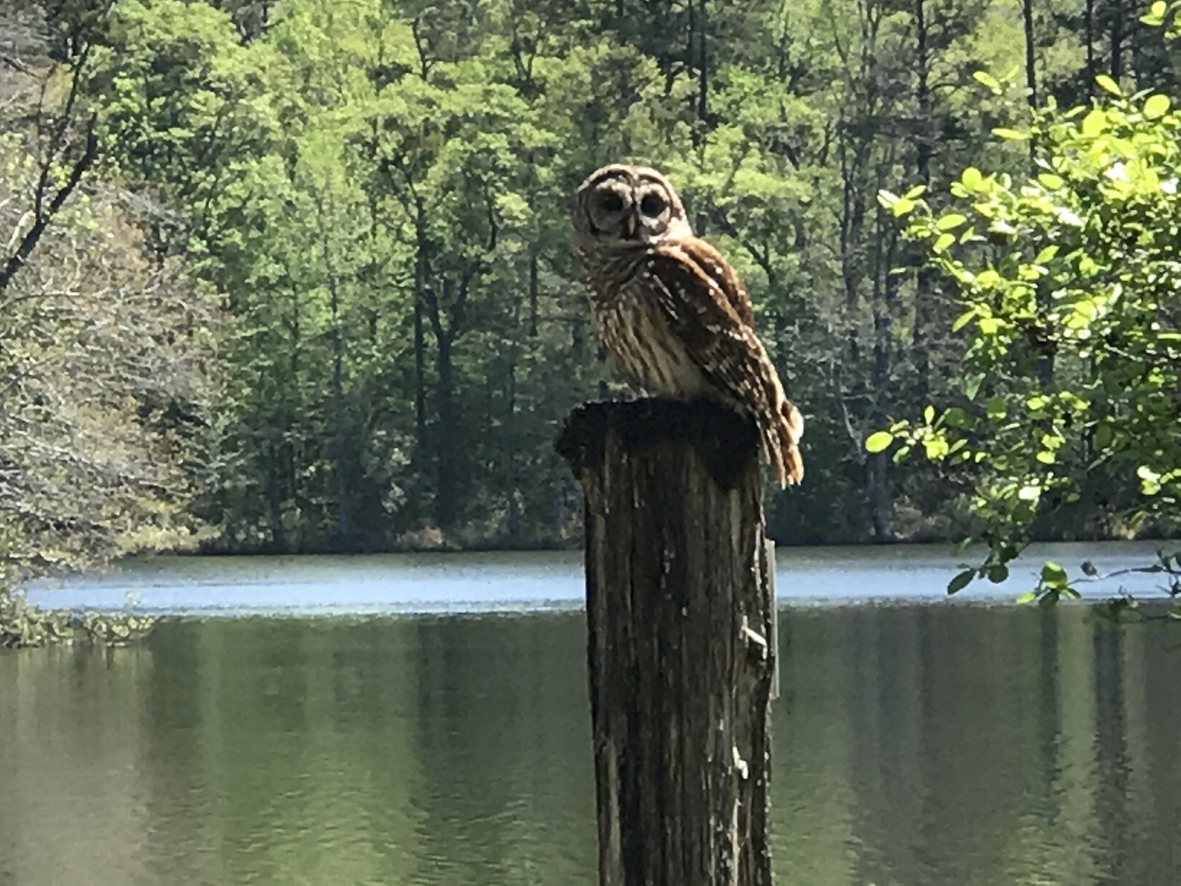 Barred Owl Birds of Prey demonstration at Callaway Gardens