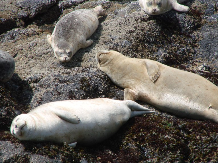 Harbor Seals at Quarry Cove